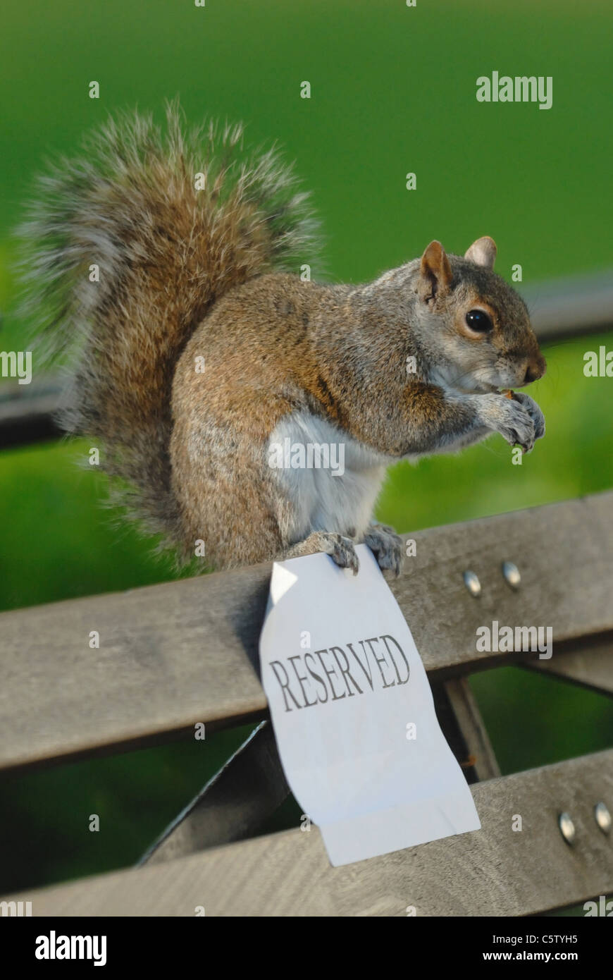 Squirrel eating a nut on a reserved seat - Stock Image