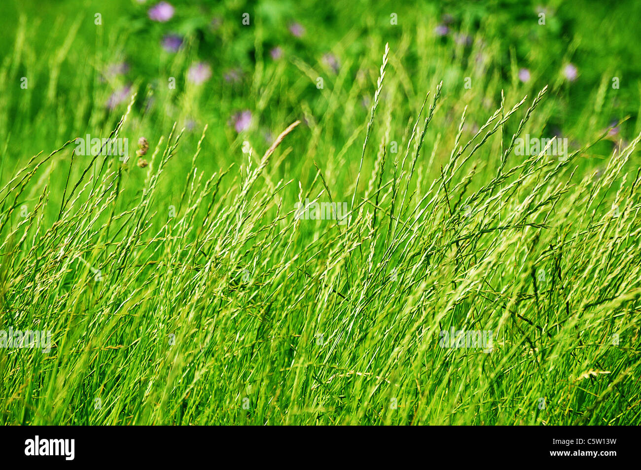green grass meadow - Stock Image
