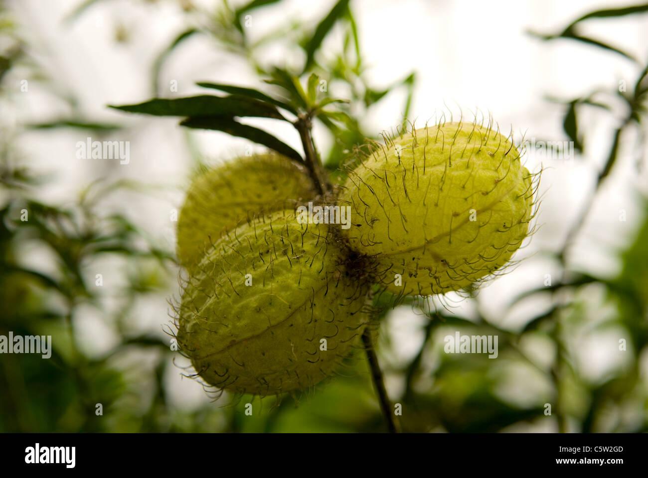 Balloon Cotton Bush Fruit, Asclepias physocarpa aka Gomphocarpus  physocarpus Apocynaceae - Stock Image