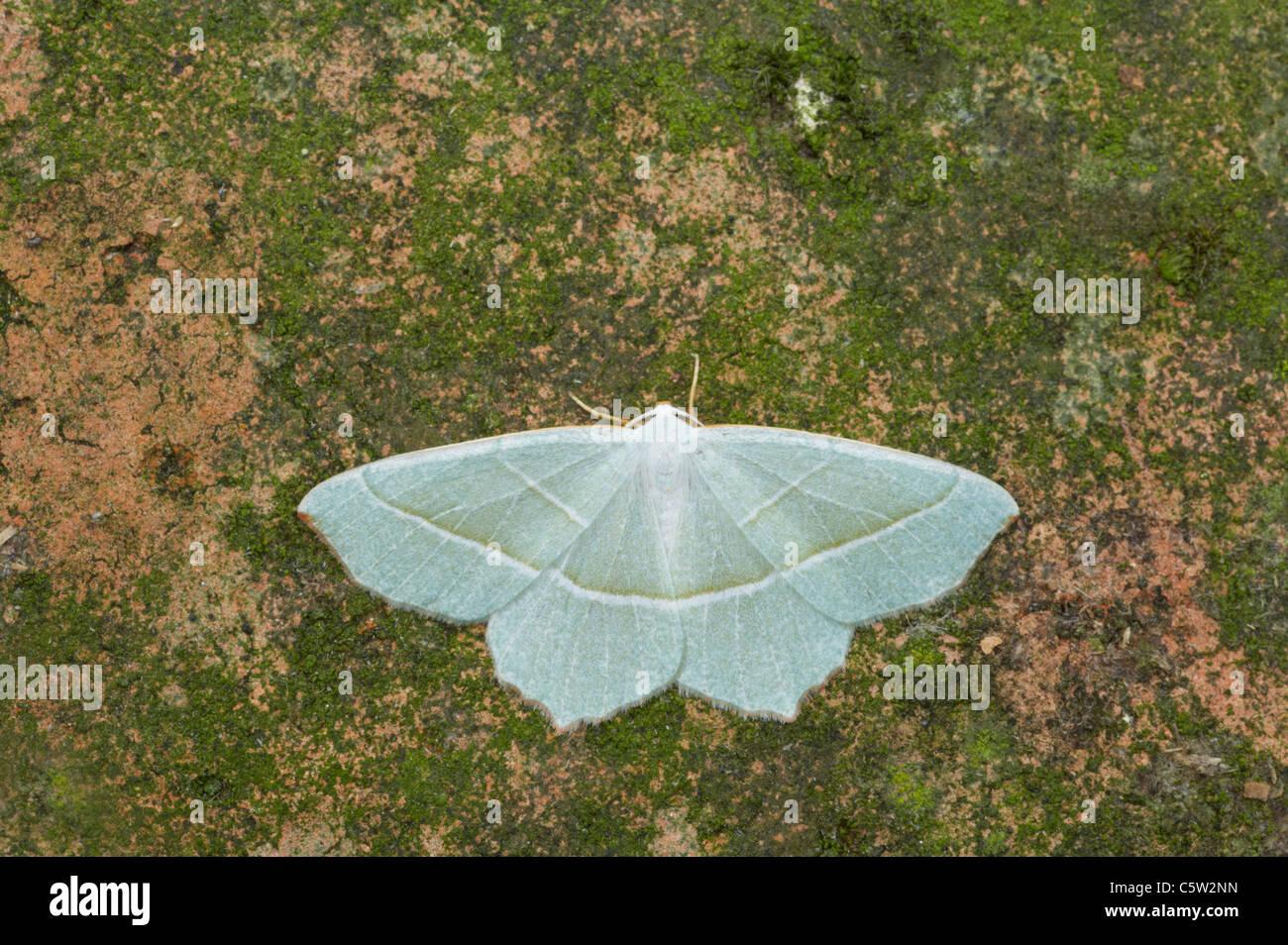 Light Emerald Moth Campaea margaritata Essex, UK IN000416 - Stock Image