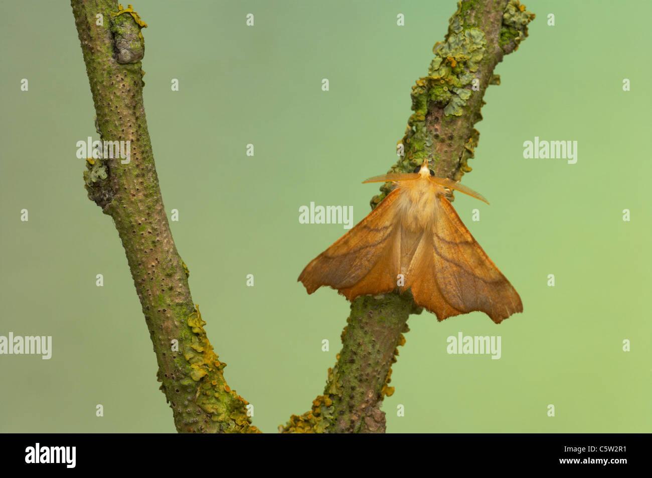 Dusky Thorn Ennomos fuscantaria Essex, UK IN000426 - Stock Image