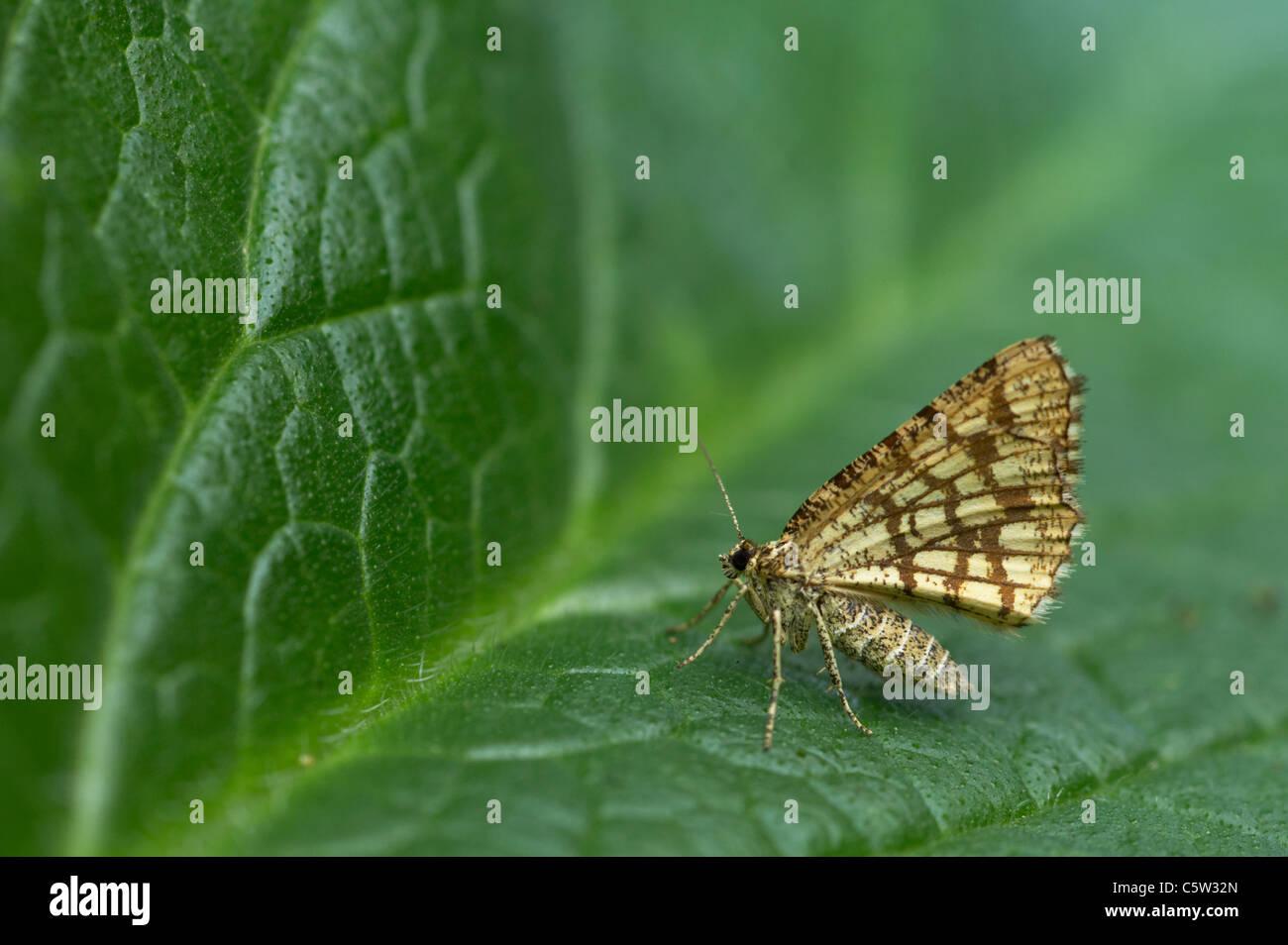 Latticed Heath Chiasmia clathrata clathrata Essex, UK IN000440 - Stock Image
