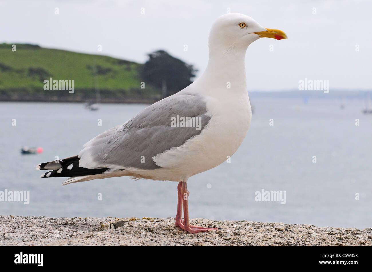 Herring Gull Larus argentatus standing on sea wall. - Stock Image