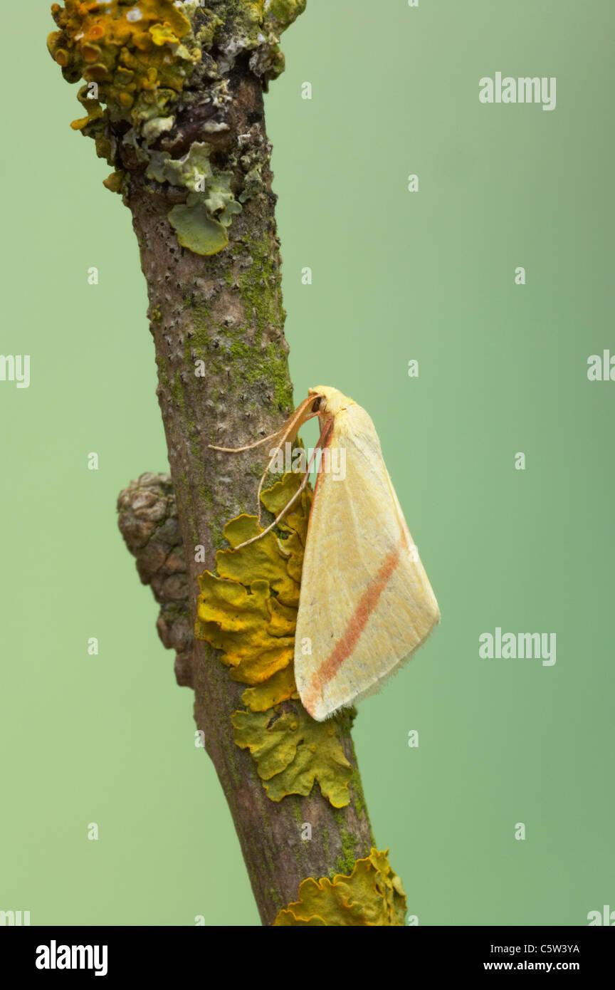 The Vestal Moth - Migrant from Europe Rhodometra sacraria Essex, UK IN000550 - Stock Image