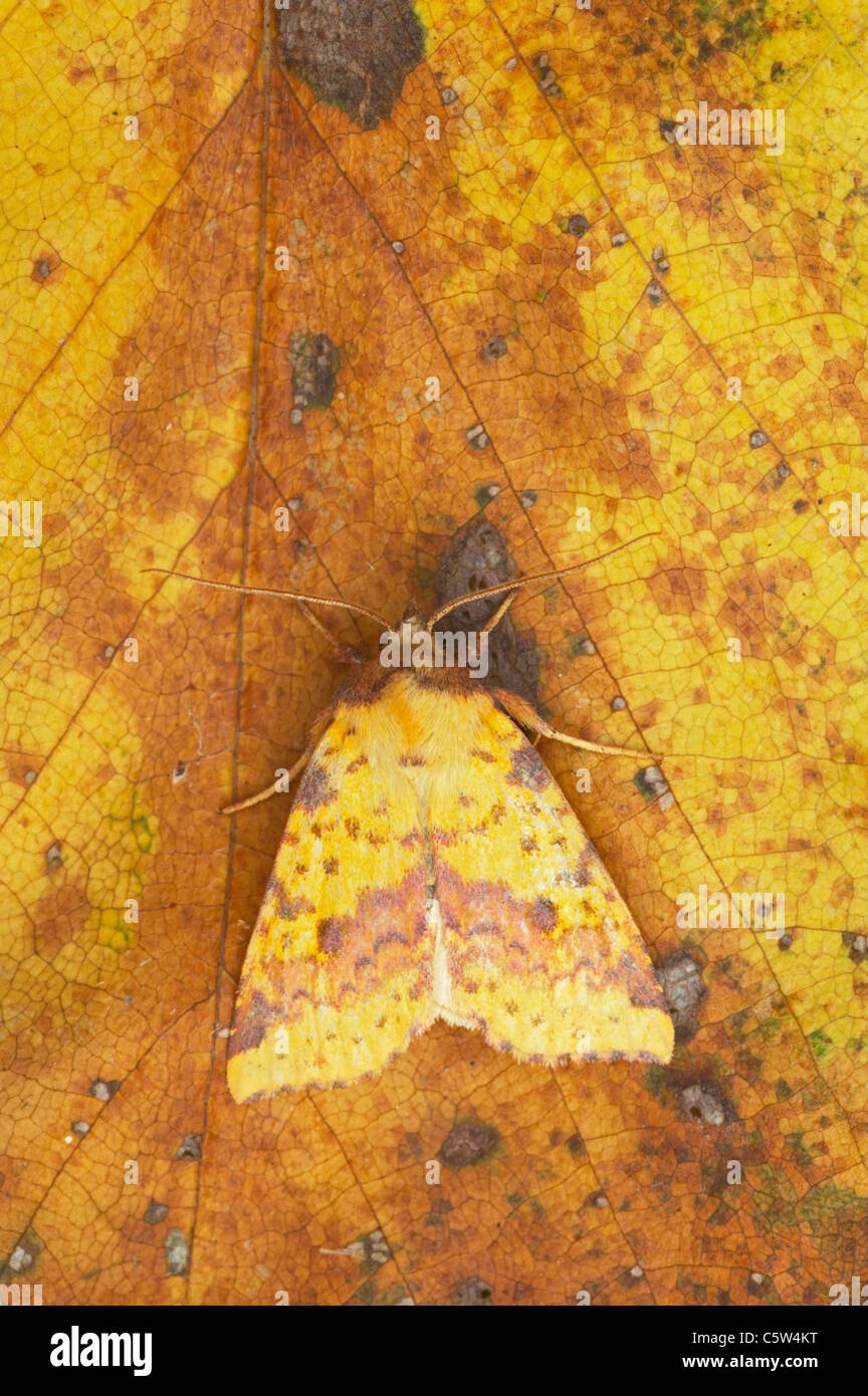 Pink Barred Sallow Moth Xanthia togata Essex, UK Autumn IN000594 - Stock Image