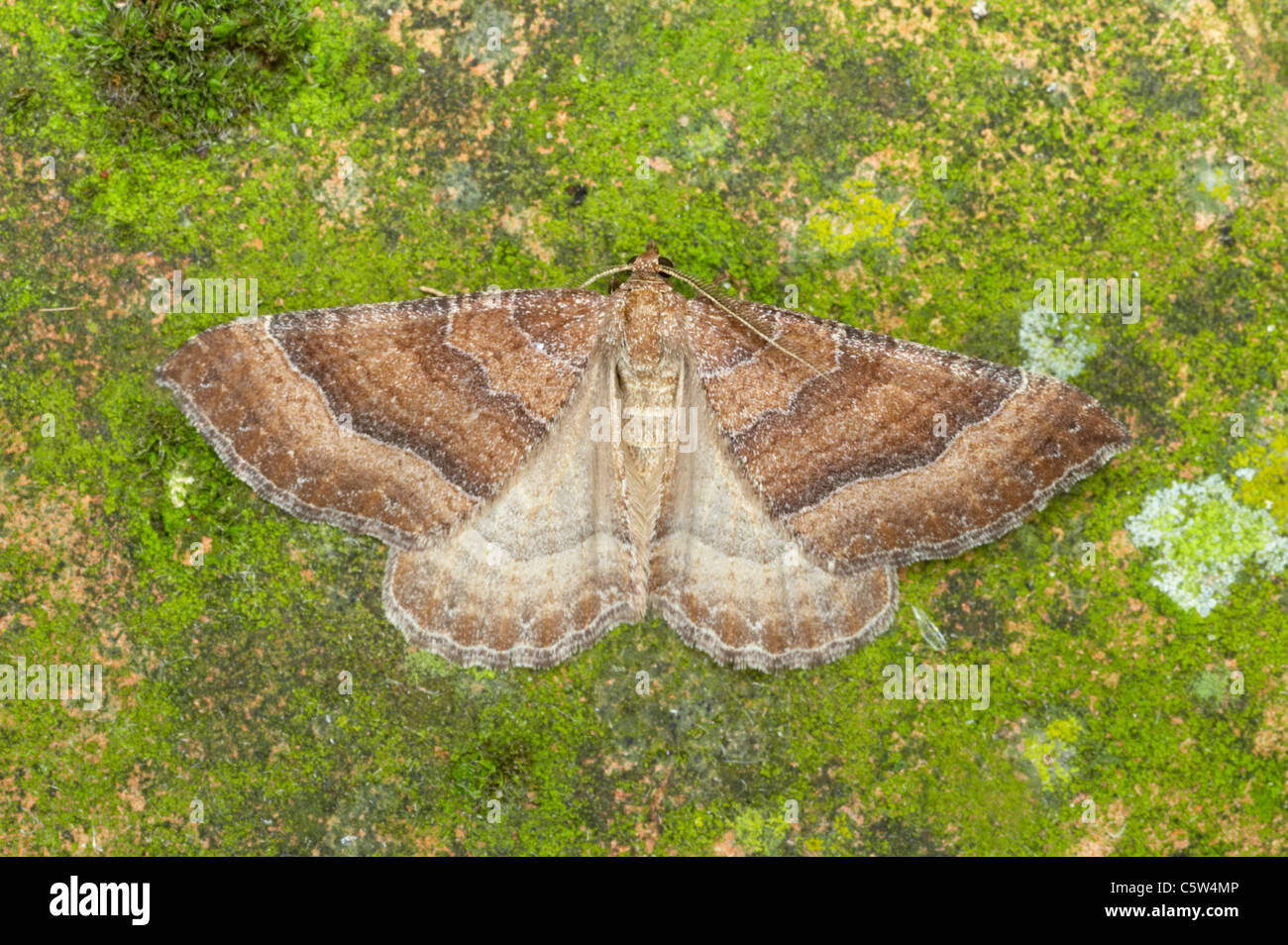 The Tissue Moth - Showing characteristic hind wing markings Triphosa dubitata Essex, UK IN000597 Stock Photo