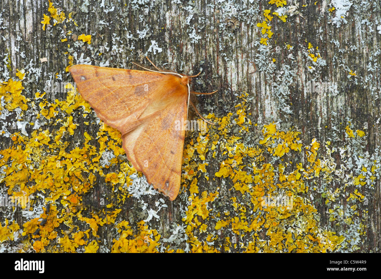 Feathered Thorn Colotois pennaria Essex, UK IN000602 - Stock Image