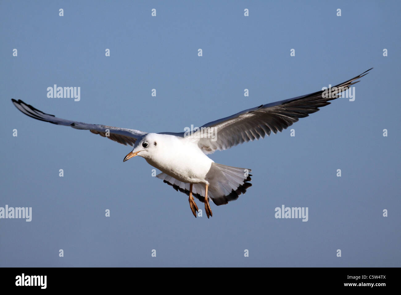 1st winter Black-headed Gull in flight - Stock Image