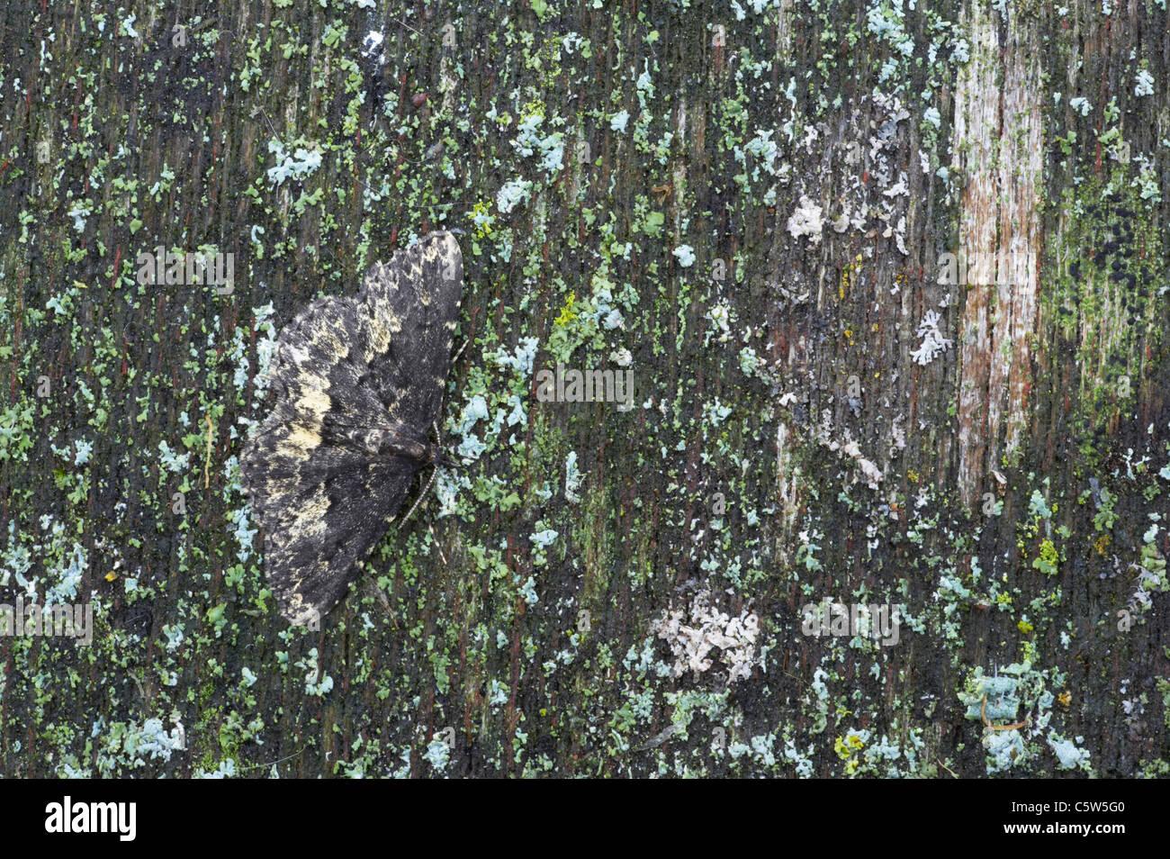 Waved Black Moth - Demonstrating camouflage Parascotia fuliginaria Essex, UK IN000692 - Stock Image