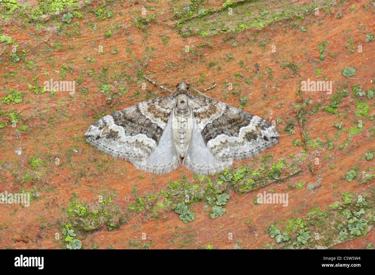 Barred Rivulet Perizoma bifasciata Essex, UK IN000738 - Stock Image