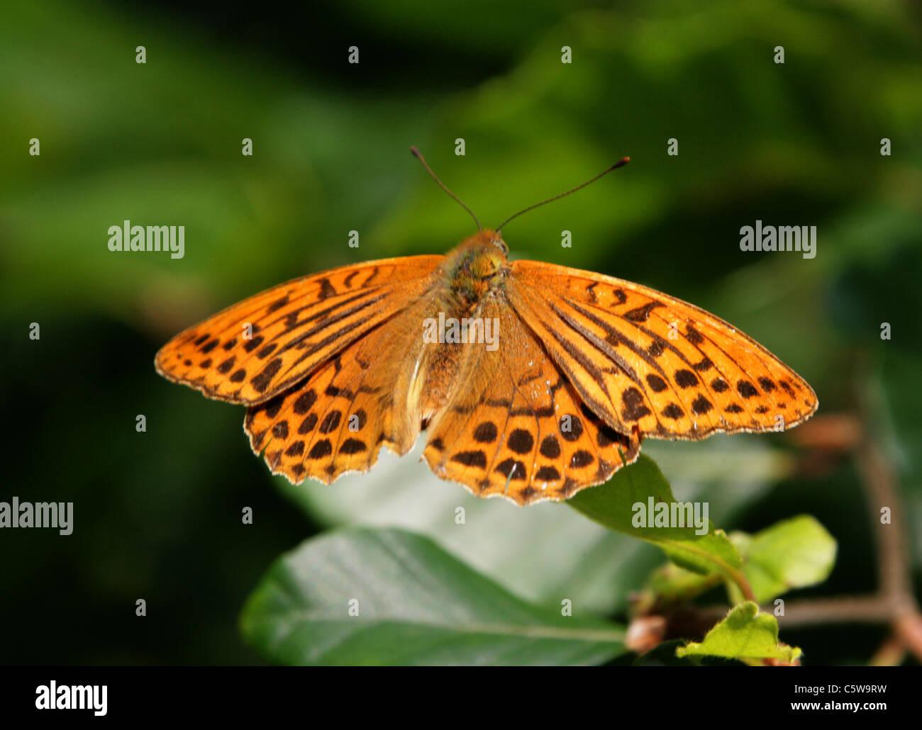 Silver-Washed Fritillary, Argynnis paphia, Nymphalidae. - Stock Image