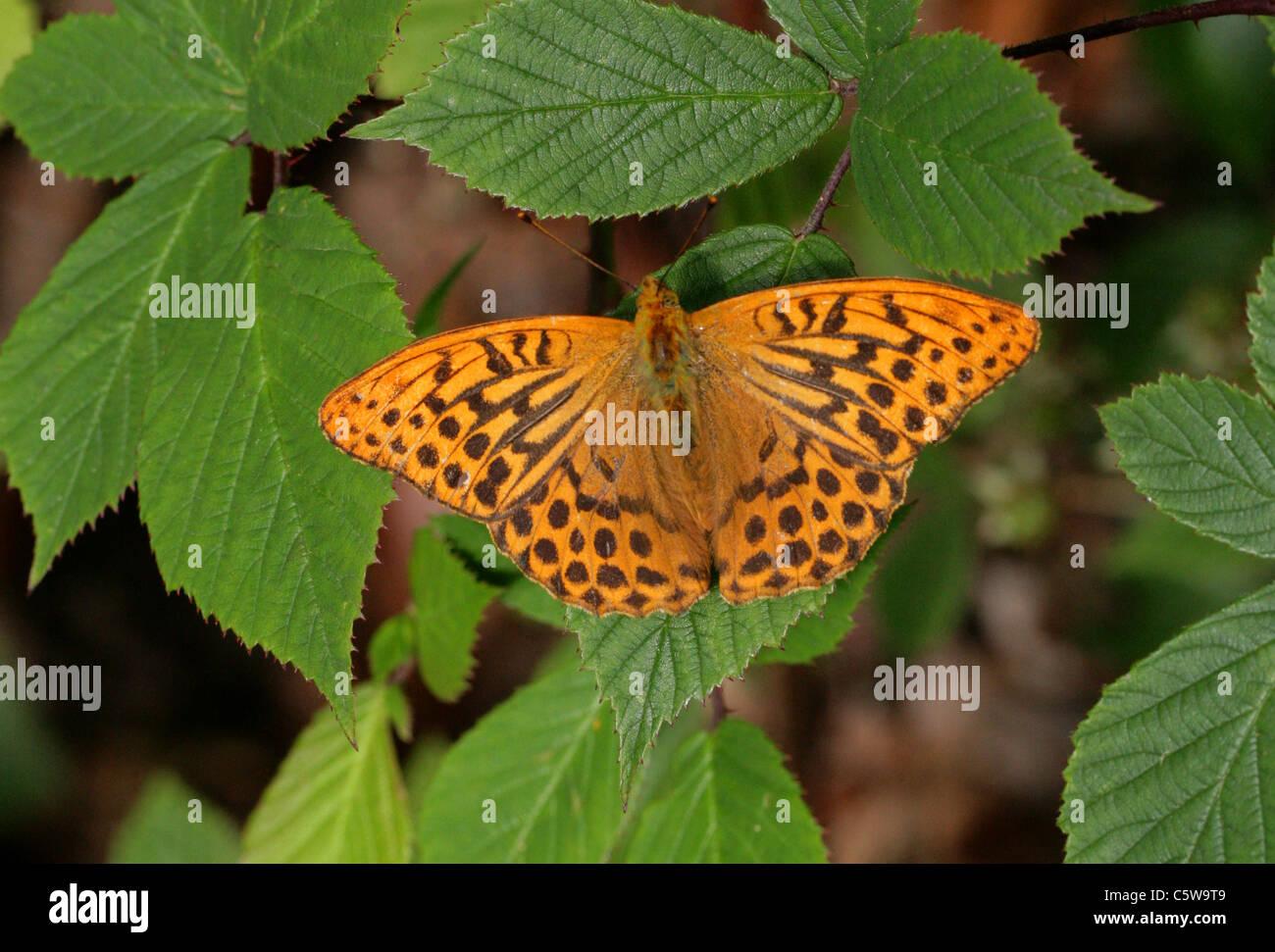 Silver-Washed Fritillary, Argynnis paphia, Nymphalidae. Resting on Bramble Leaves. Stock Photo