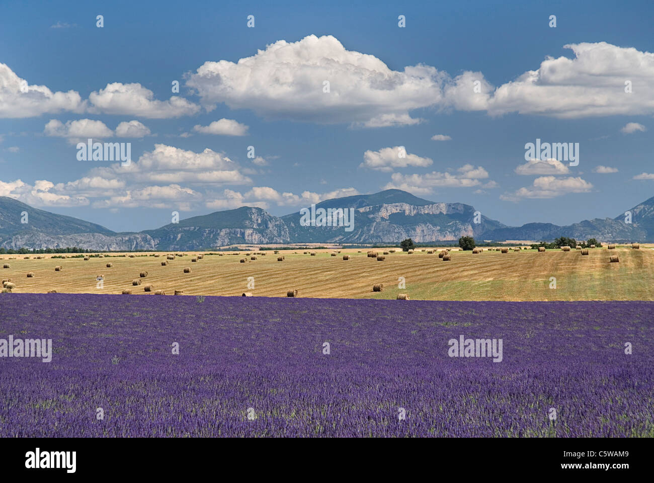 France, Provence, Lavender fields - Stock Image