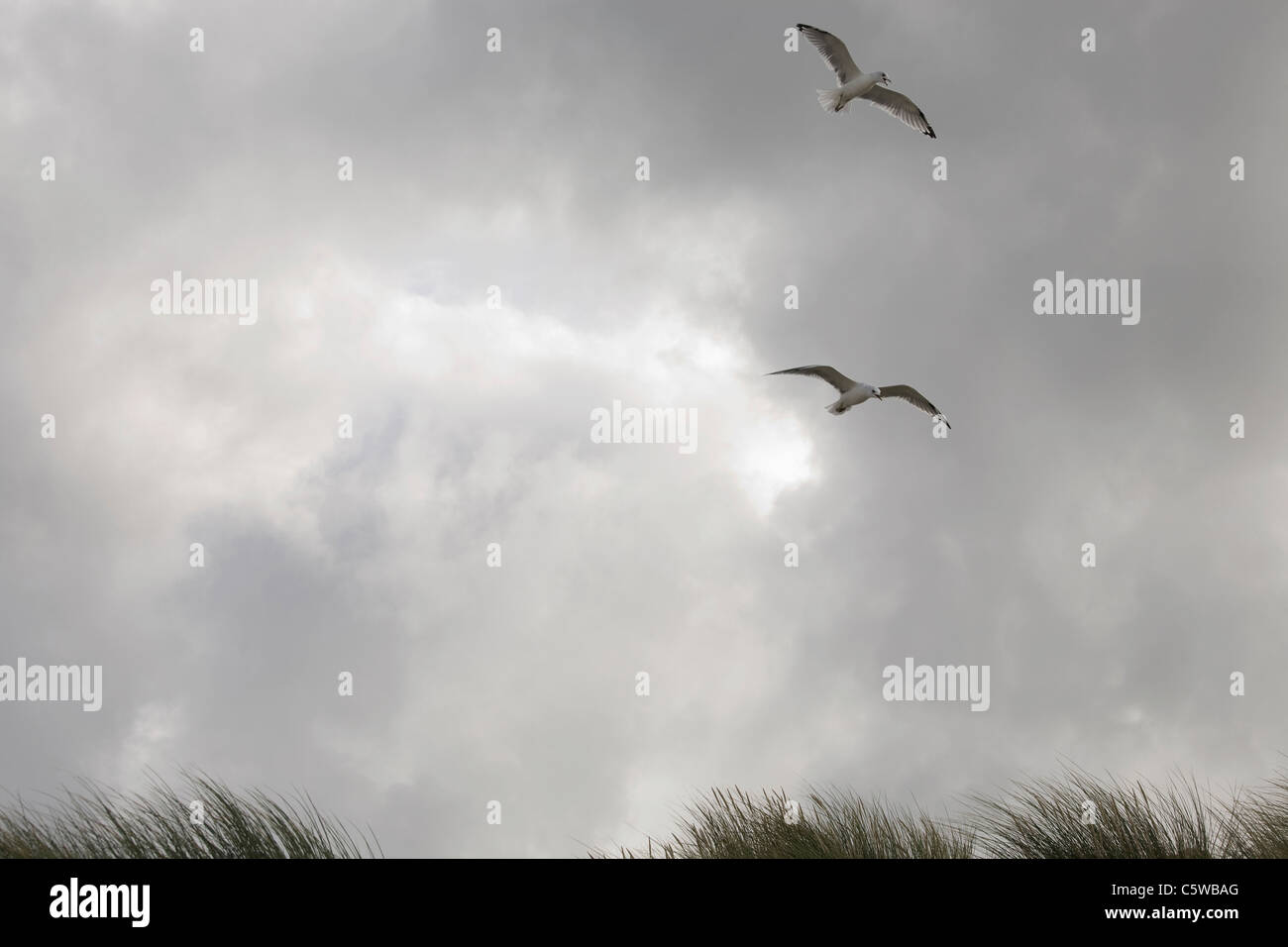 Germany, Schleswig Holstein, Amrum, Seagulls over Beach - Stock Image