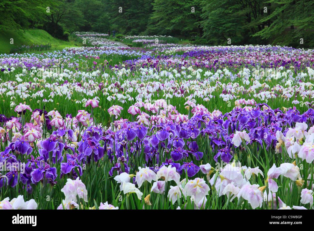 Iris park stock photos iris park stock images alamy iris flower garden of ijimino park shibata niigata japan stock image izmirmasajfo
