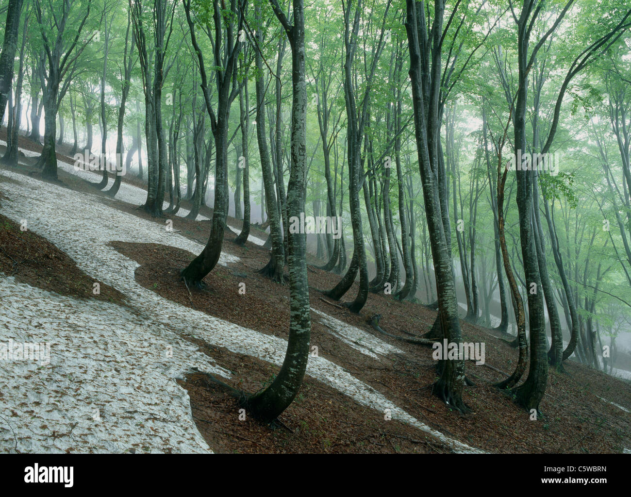 Beech Forest of Amamizukoshi, Tokamachi, Niigata, Japan - Stock Image