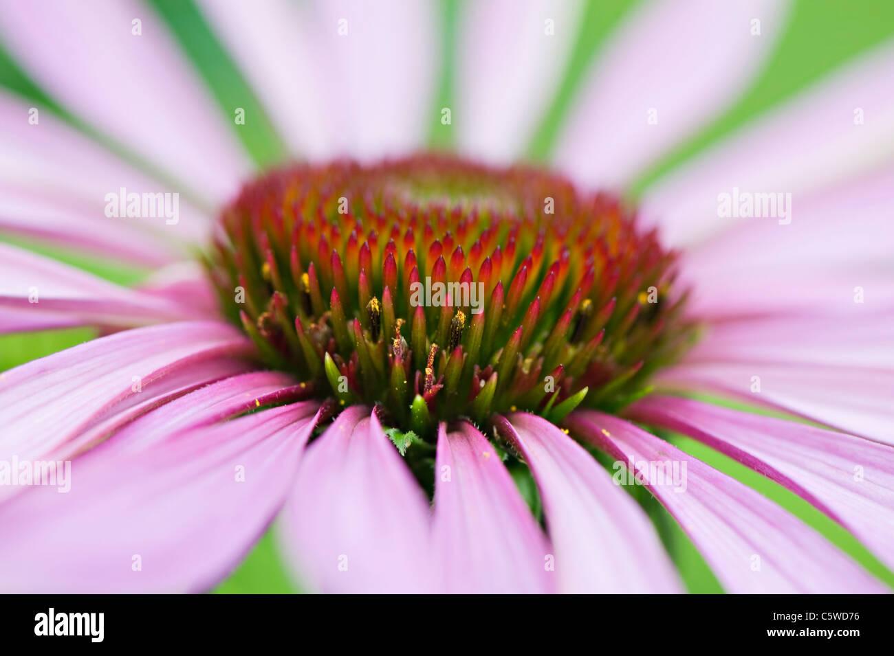 Close-up image of the summer flowering Eastern Purple Coneflower - Echinacea purpurea pink flowers, image taken - Stock Image