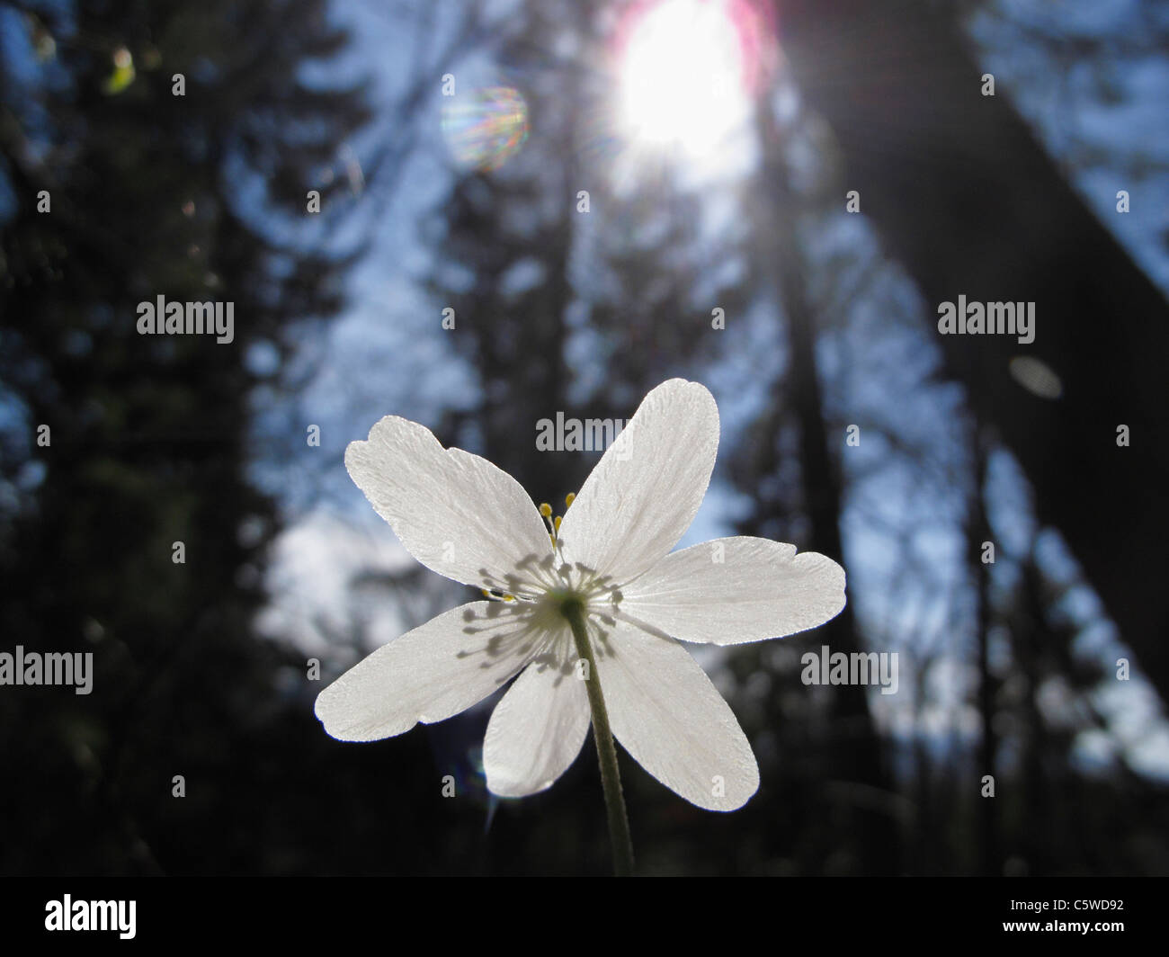 Germany, Bavaria, Close up of wood anemone flower with lens flare - Stock Image