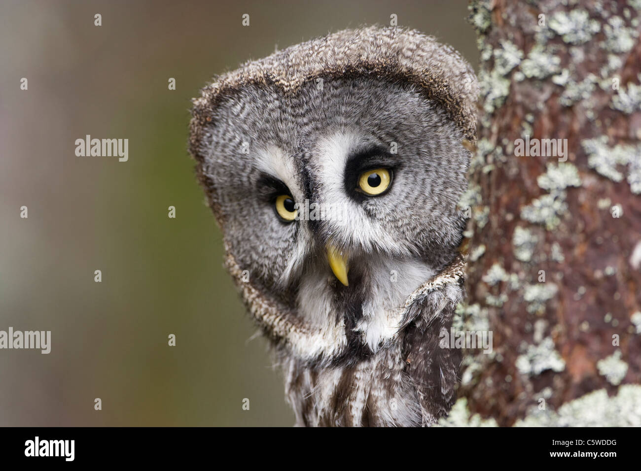 Great Grey Owl, Lapland Owl (Strix nebulosa), peering around tree. - Stock Image