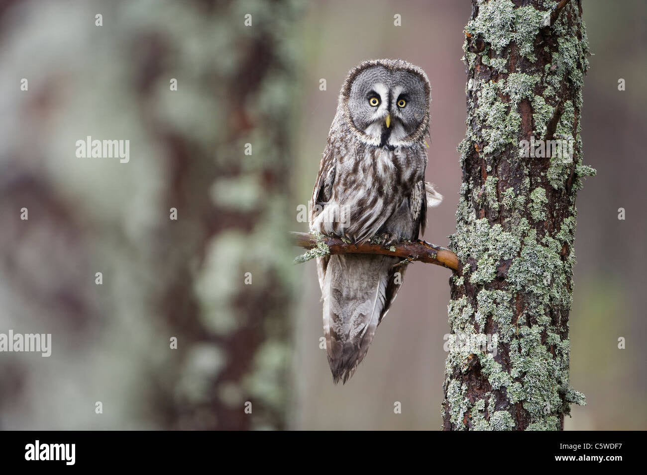 Great Grey Owl, Lapland Owl (Strix nebulosa) perched in pine forest (controlled conditions). - Stock Image
