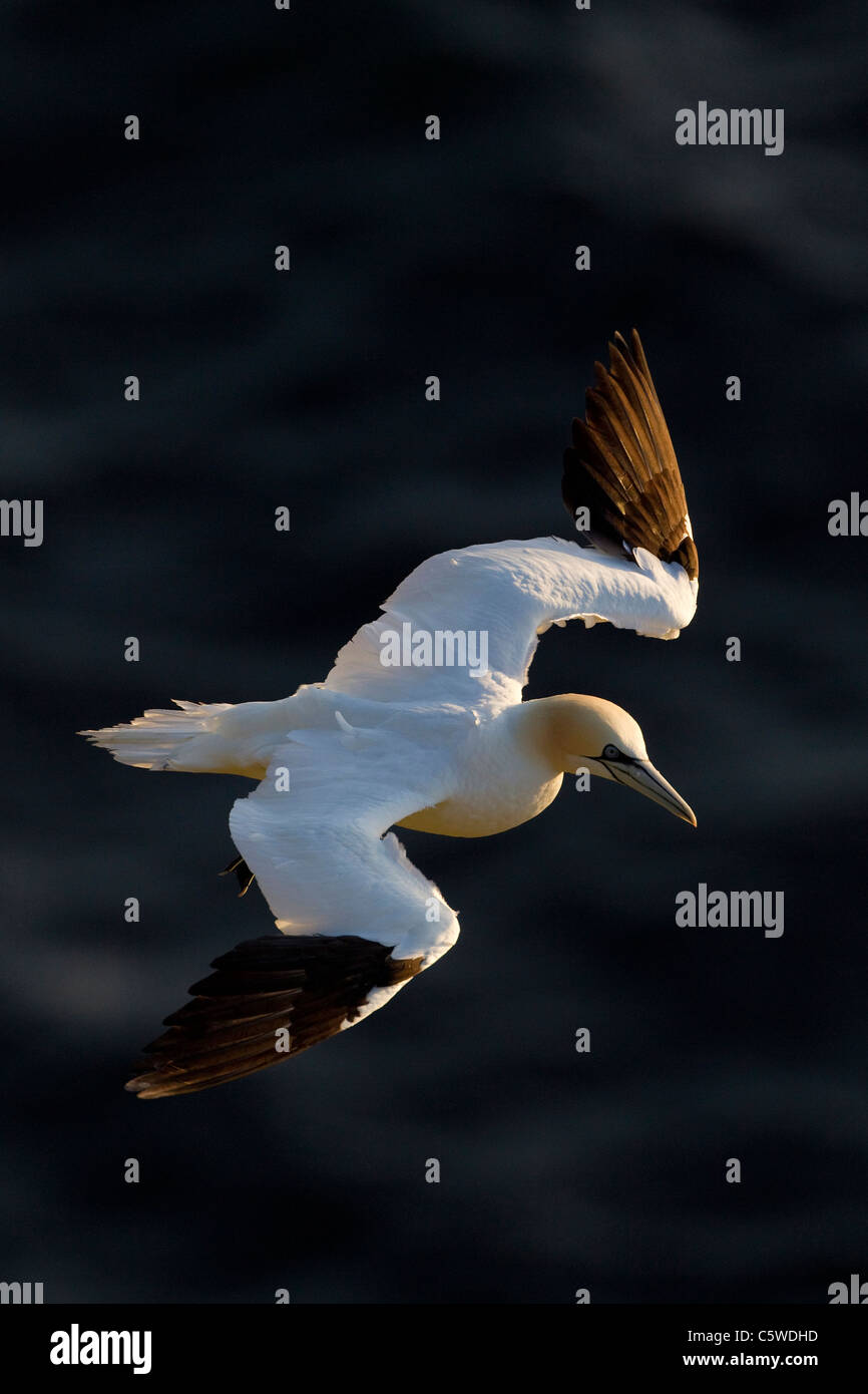 Northern Gannet (Sula bassana, Morus bassanus), adult in flight. - Stock Image