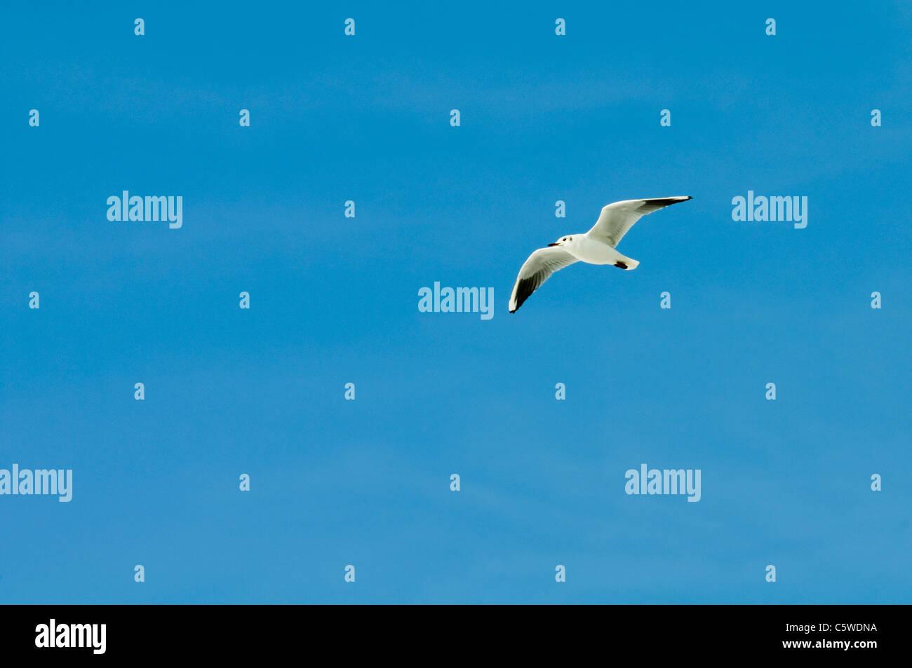 Black-headed gull (Larus ridibundus) in flight Stock Photo