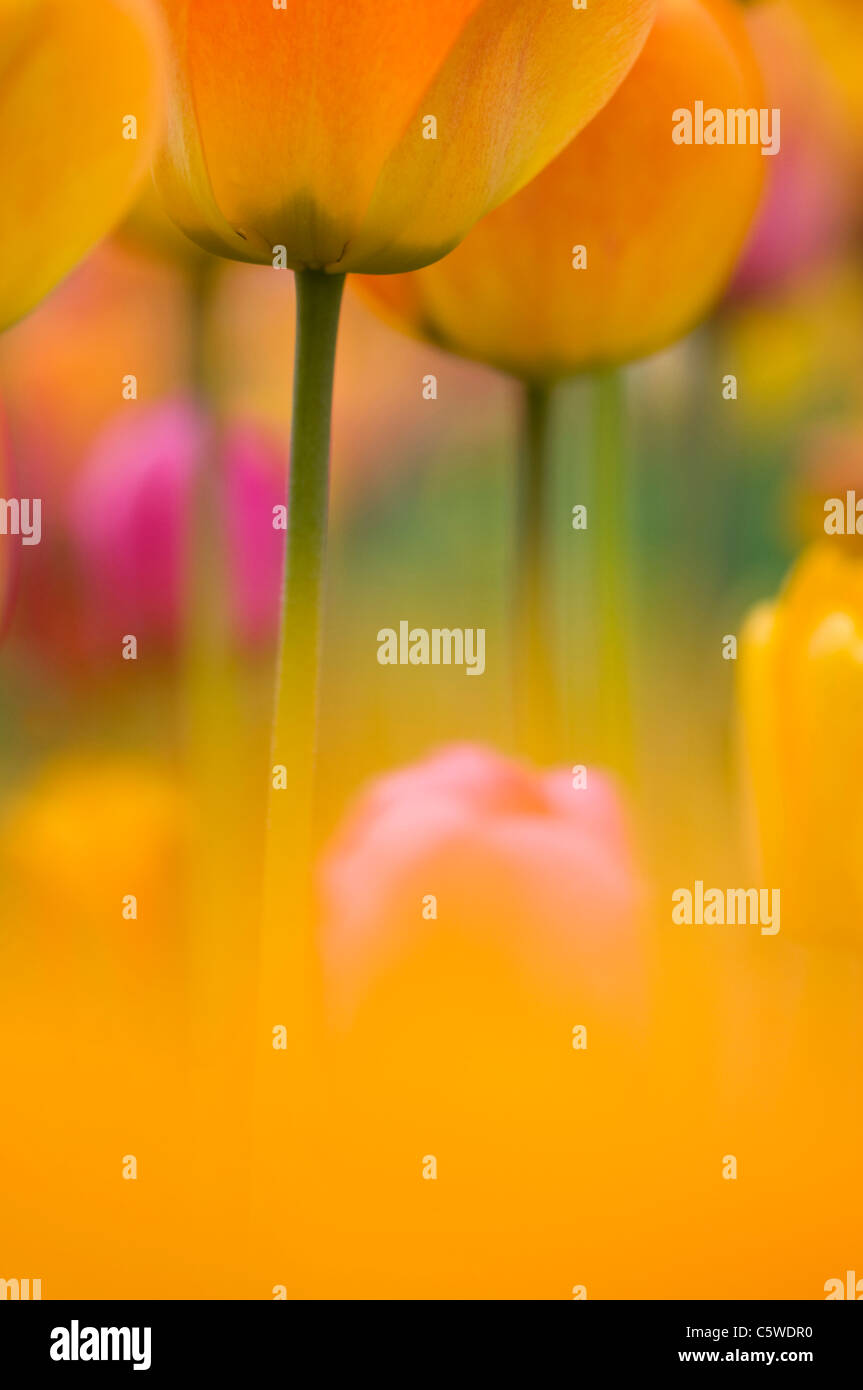 Germany, Baden Württemberg, Tulips, close-up - Stock Image