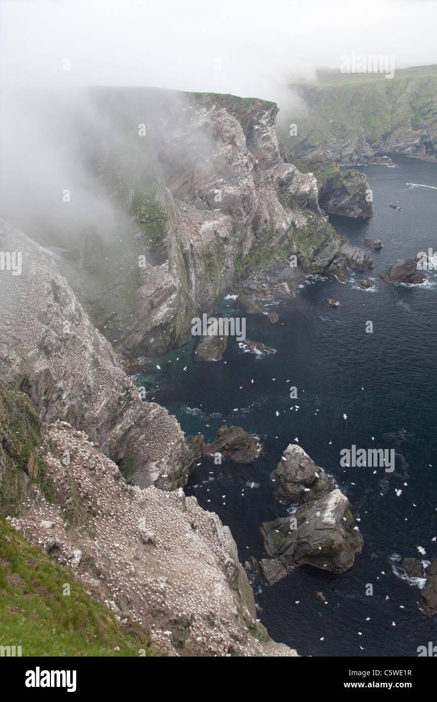 Northern Gannet (Sula bassana, Morus bassanus). Breeding colony on Hermaness in sea mist. Unst, Shetland. - Stock Image