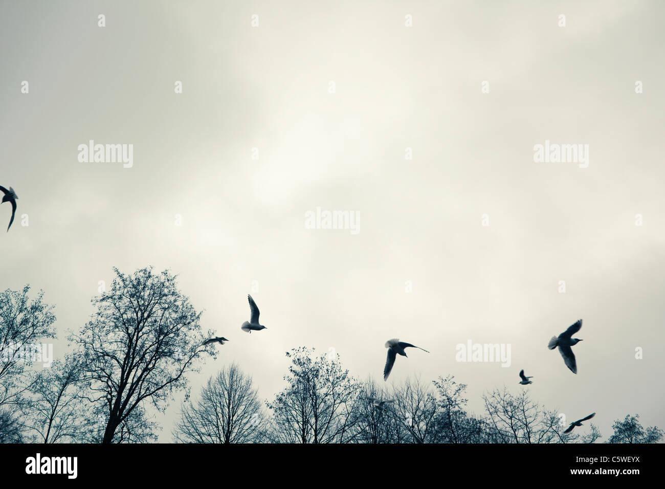 Germany, Hamburg, Seagulls in flight, low angle view - Stock Image