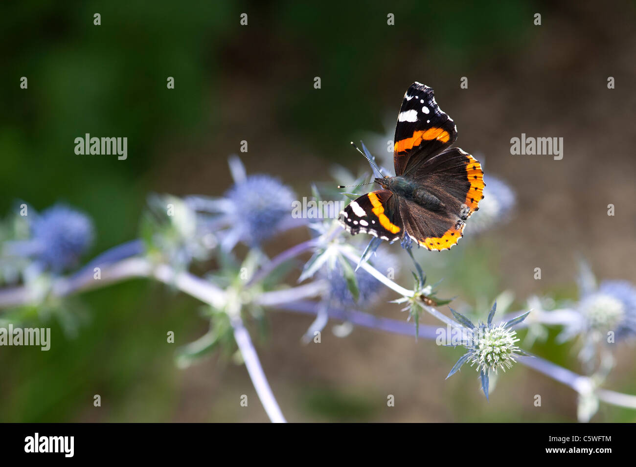 Vanessa atalanta . Red Admiral butterfly feeding on Eryngium (Sea Holly) - Stock Image
