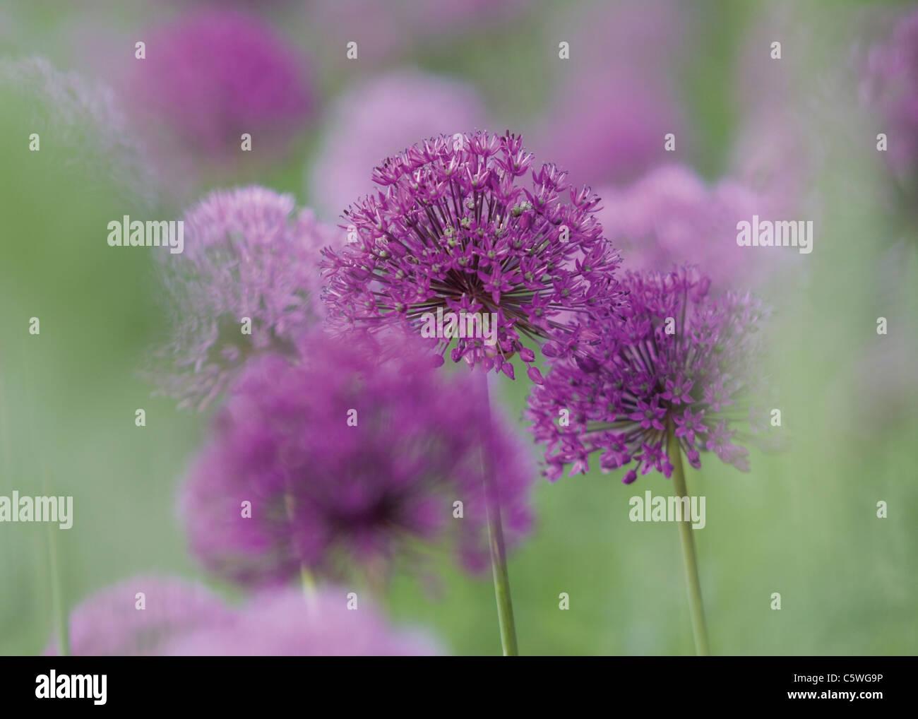 Germany, View of purple allium flowers - Stock Image