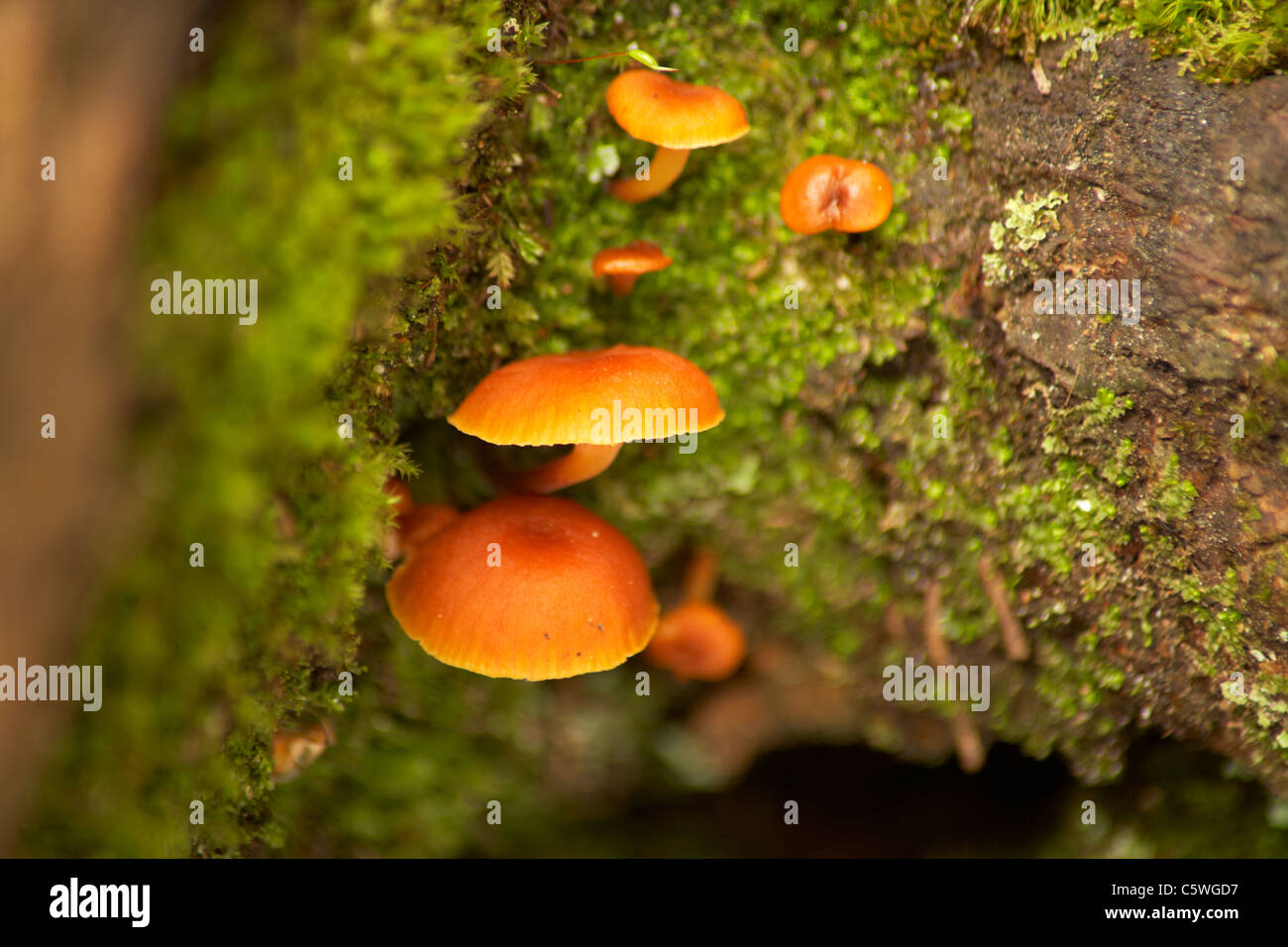 Fungi growing on tree bark - Stock Image
