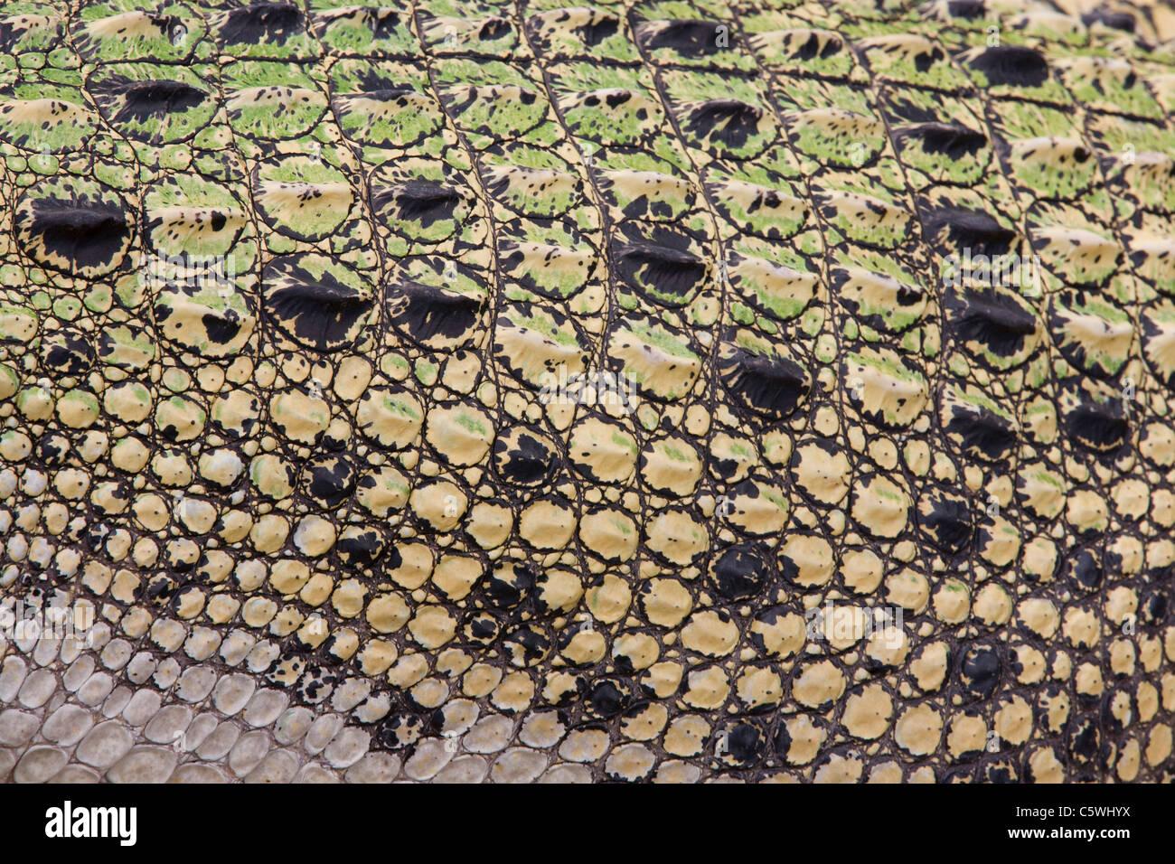Scales of saltwater crocodile (Crocodylus porosus), full frame - Stock Image