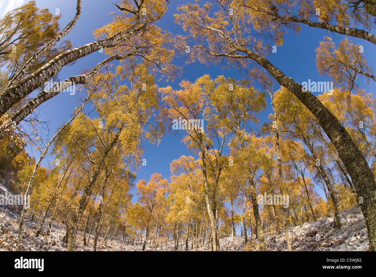 Silver Birch (Betula pendula), woodland in autumn. Craigellachie National Nature Reserve, Scotland, Great Britain. - Stock Image
