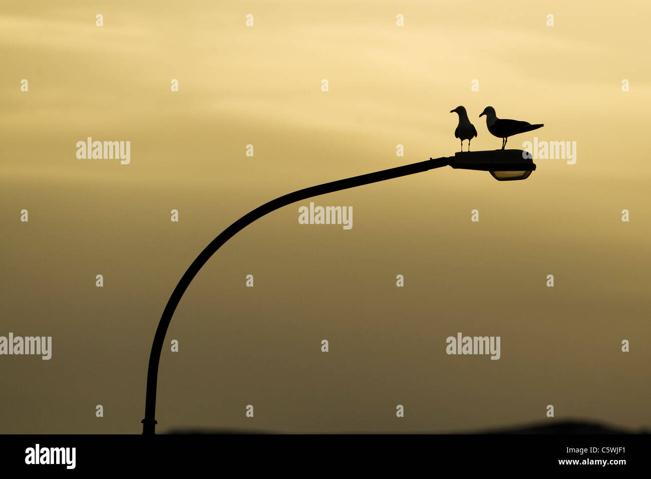 Lesser Black-backed Gull (Larus fuscus). Pair perched on street light at sunrise, Iceland. - Stock Image