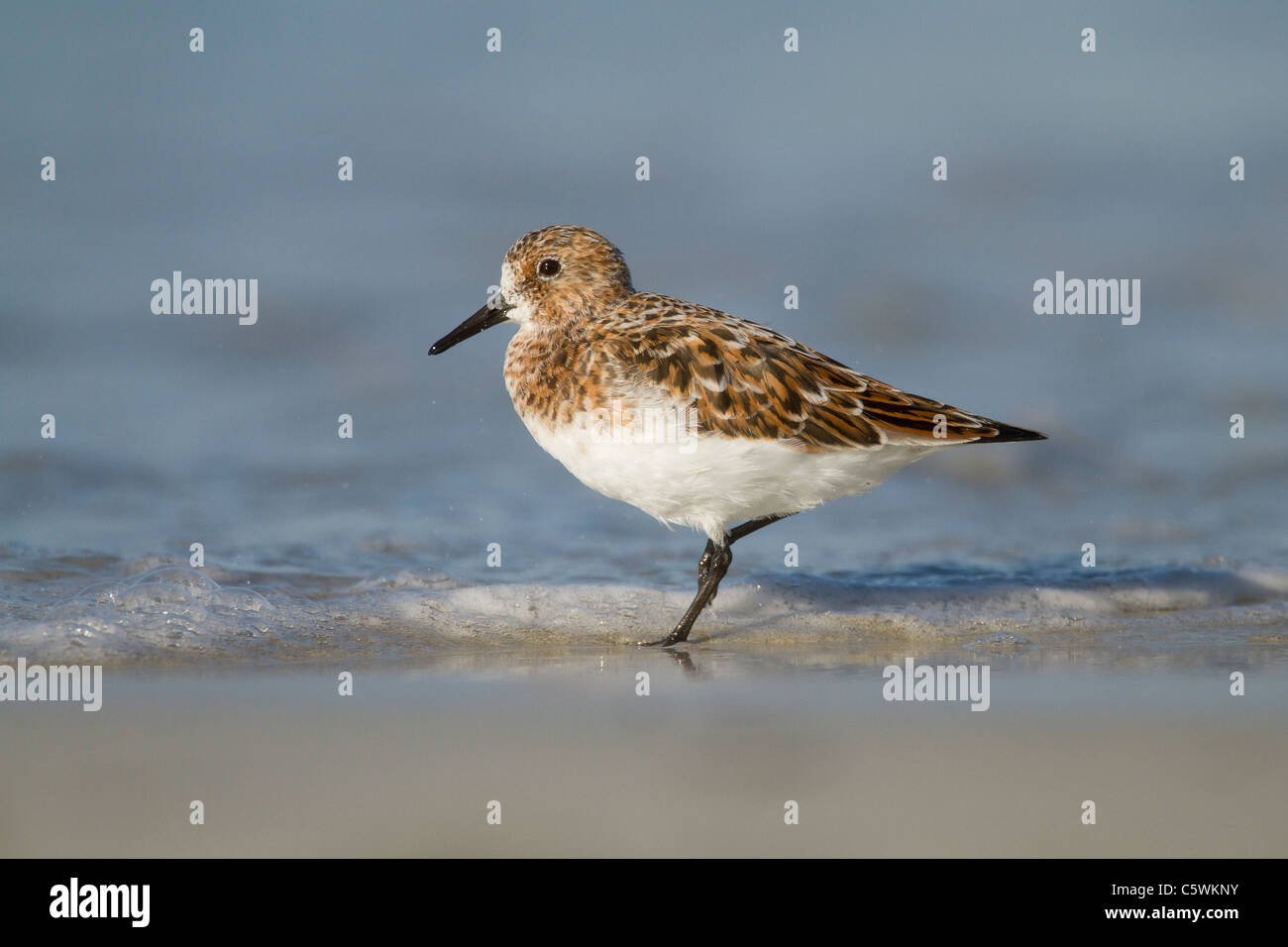 Sanderling in Summer plumage on a beach in Scotland, UK during migration. This species breeds in the high arctic. - Stock Image
