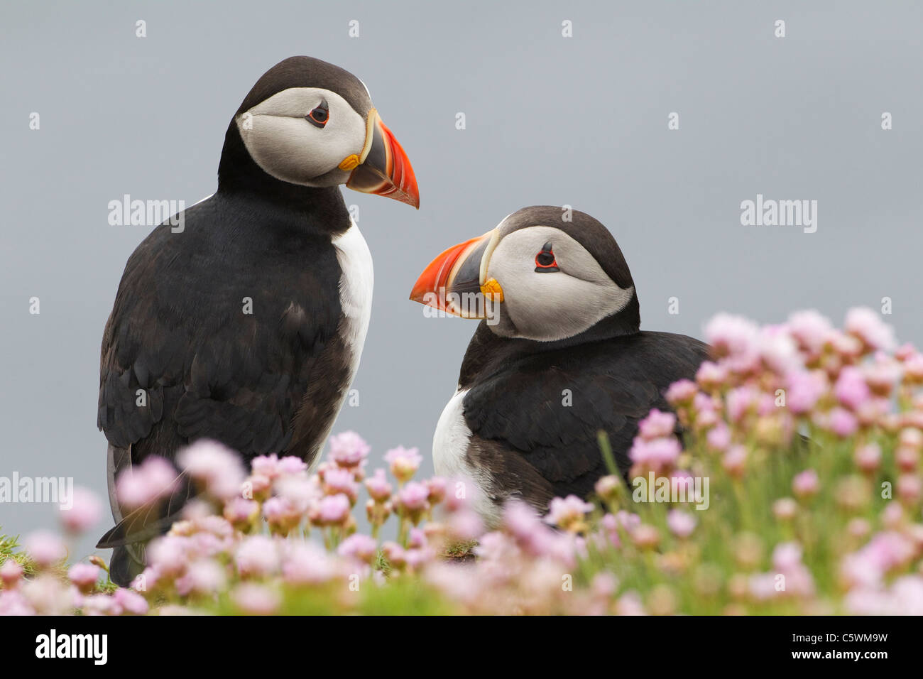 Atlantic Puffin (Fratercula arctica). Pair a cliff amongst flowering Thrift (Armeria maritima) Stock Photo