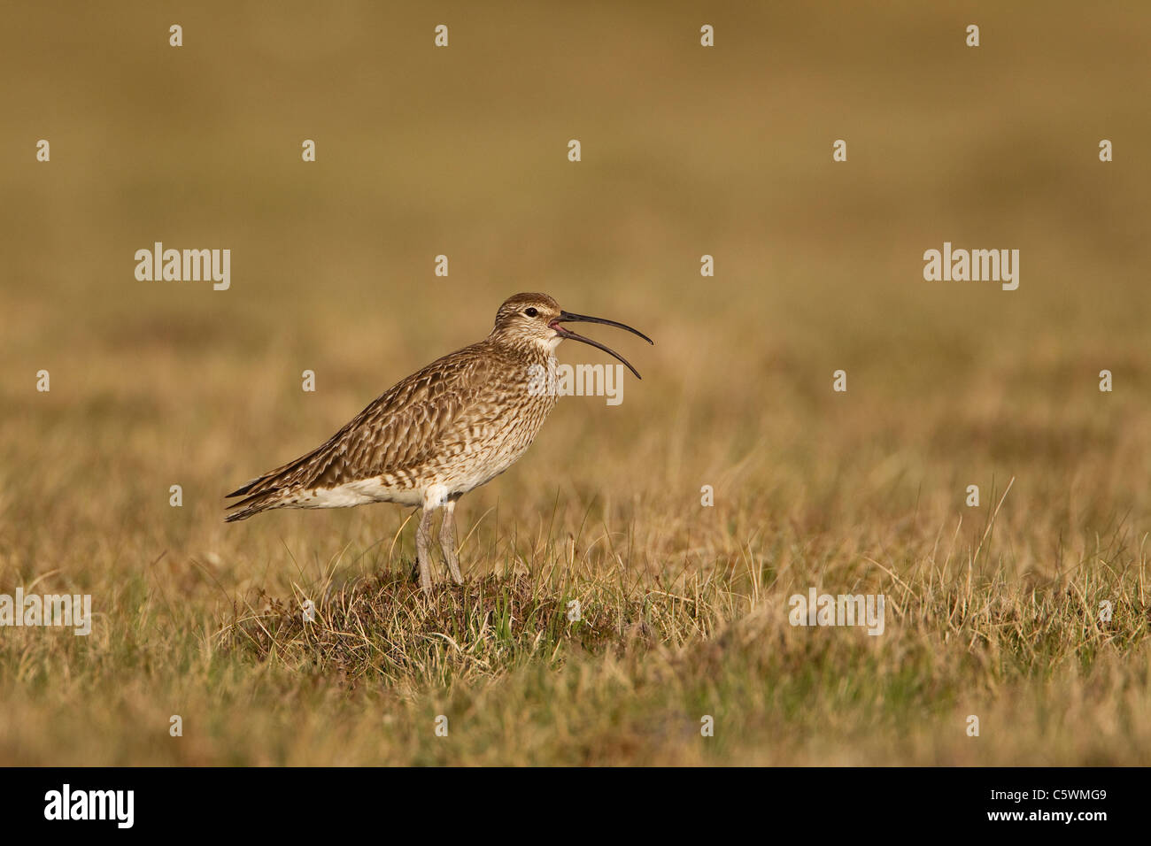 Whimbrel (Numenius phaeopus), adult calling on breeding grounds, Shetland, Scotland, Great Britain. - Stock Image