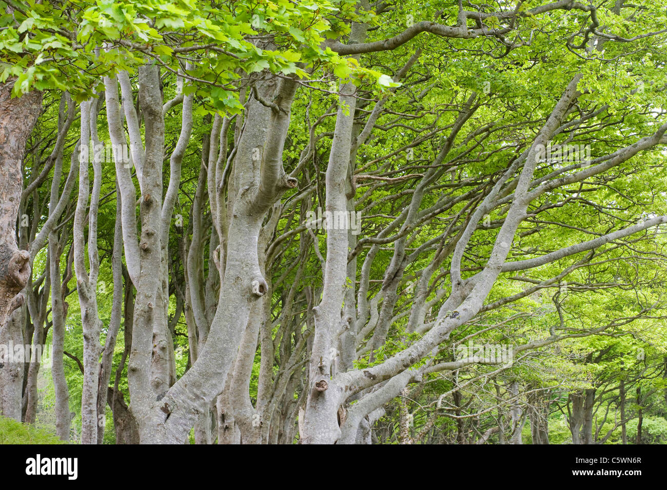 Common Beech, European Beech (Fagus sylvatica). Trees in early spring. Isle of Mull, Scotland, Great Britain. - Stock Image