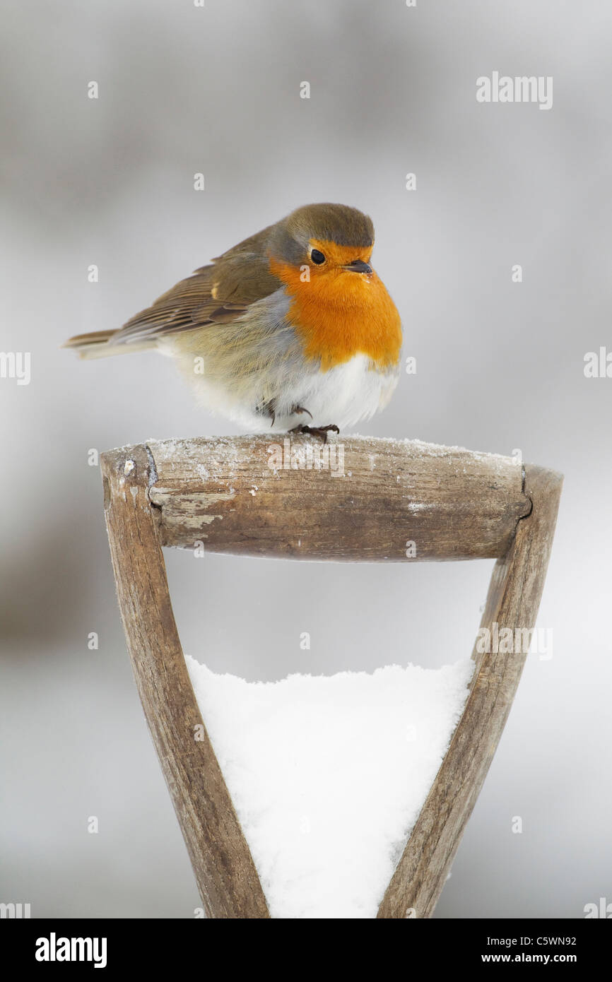Robin (Erithacus rubecula), adult perched on spade handle in snow. - Stock Image