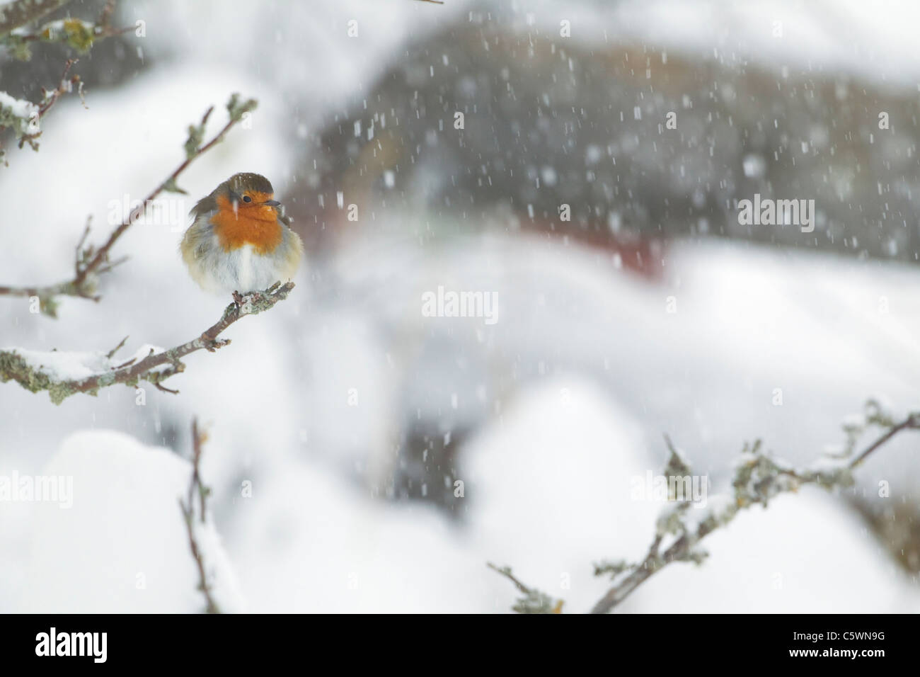 Puffed Bird Snow Stock Photos & Puffed Bird Snow Stock Images - Alamy