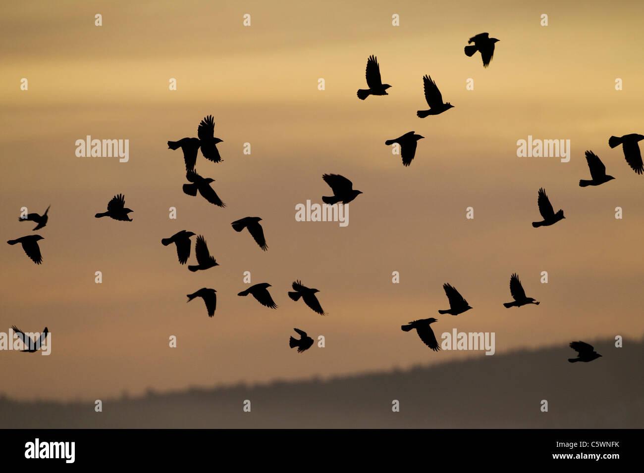 Rook (Corvus frugilegus), flock silhouetted in flight at sunrise. Scotland, Great Britain. - Stock Image