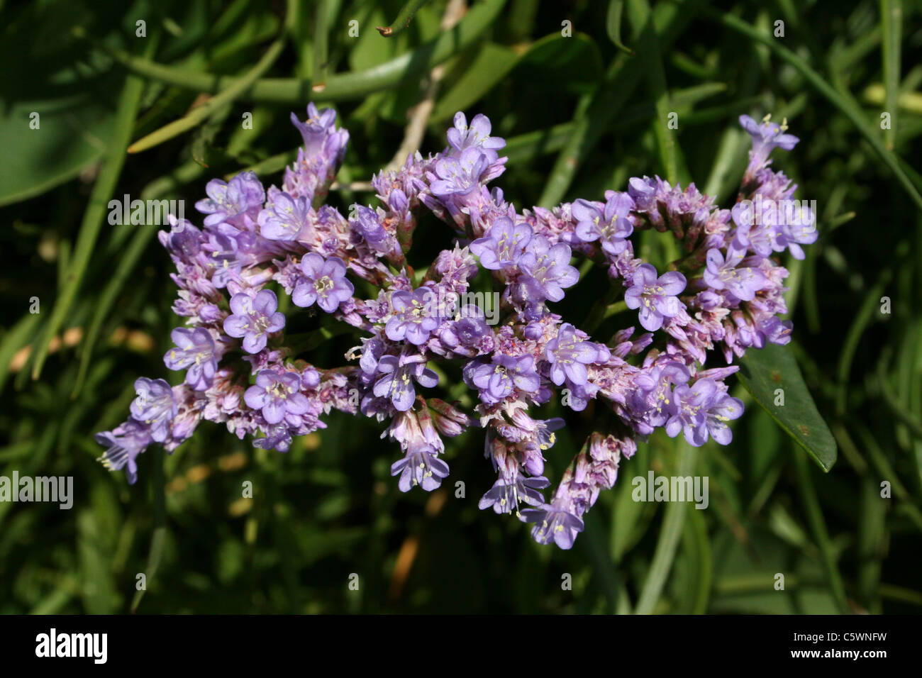 Common Sea-lavender Limonium vulgare - Stock Image