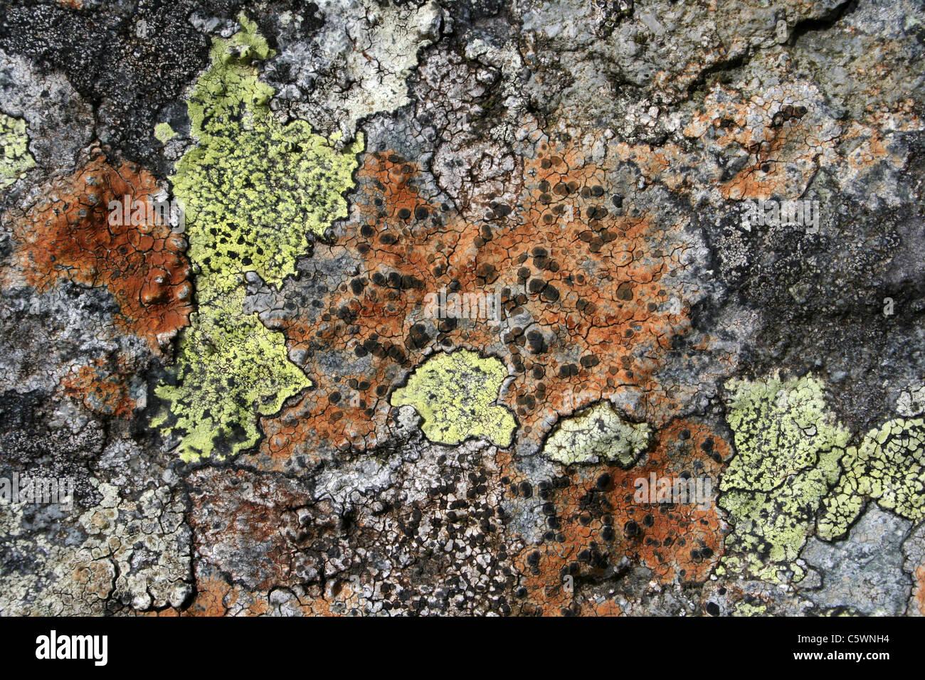 Crustose Lichens Lecidea lithophila and Rhizocarpon geographicum, Wales, UK Stock Photo