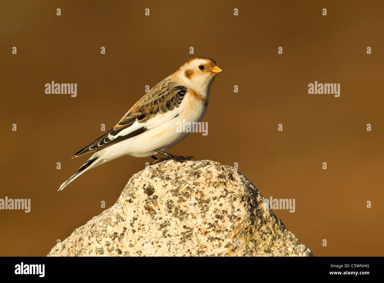 Snow Bunting (Plectrophenax nivalis). Male in winter plumage perched on rock, Scotland. - Stock Image