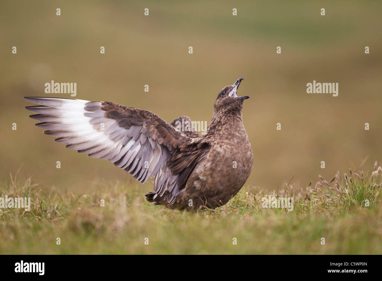 Great Skua (Stercorarius skua), adult displaying on breeding grounds. Hermaness NNR. Shetland, Scotland, Great Britain. - Stock Image