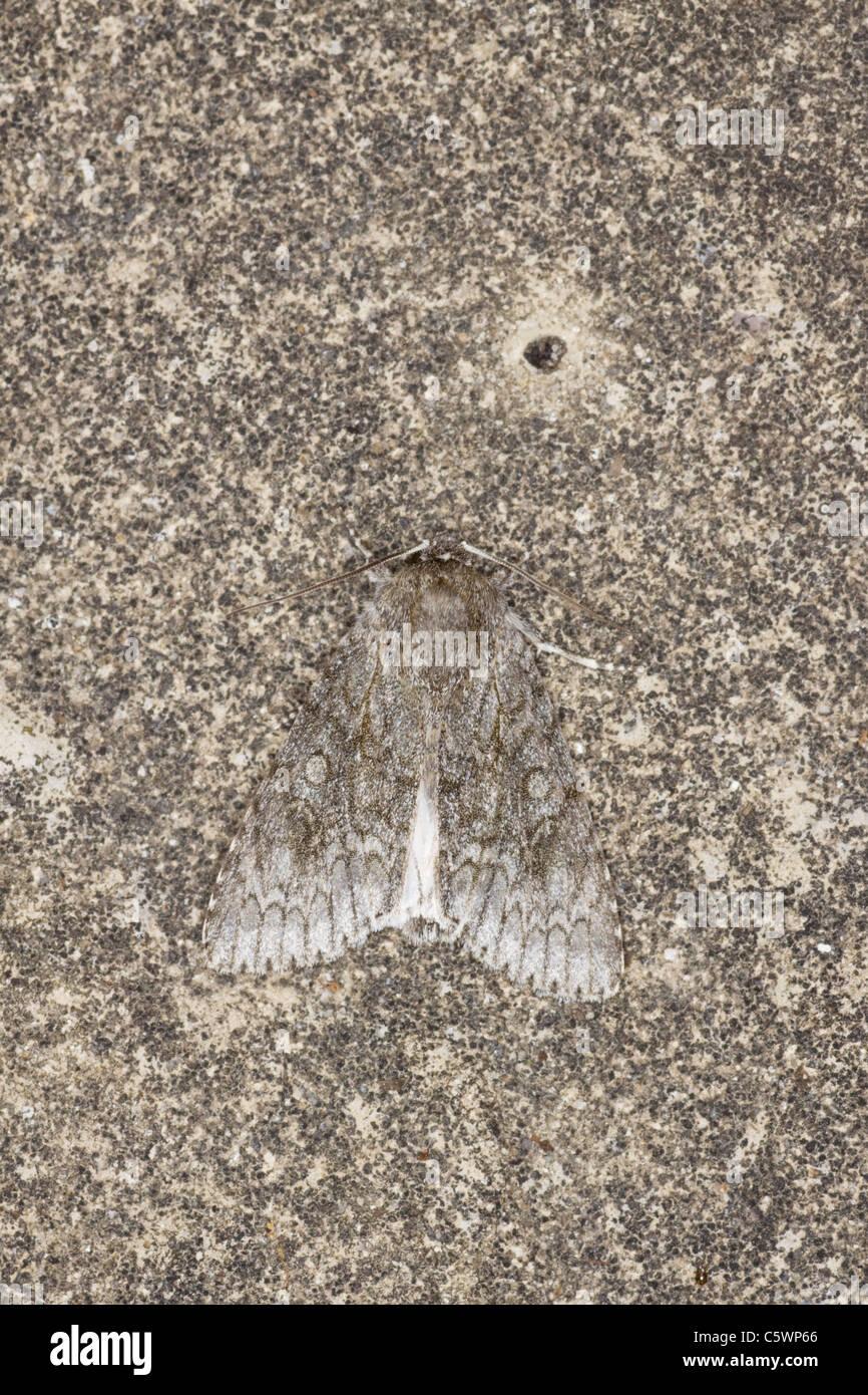 Sycamore Moth Acronicta aceris Essex, UK IN000878 - Stock Image