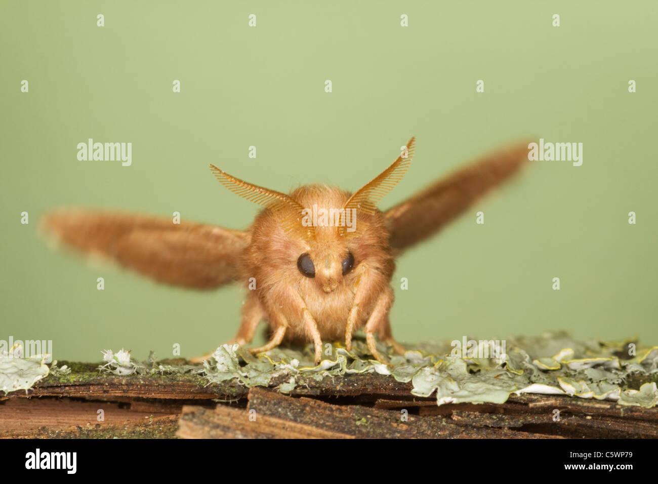 The Lackey Moth - maleshowing antennae Malacosoma neustria Essex, UK IN000880 - Stock Image