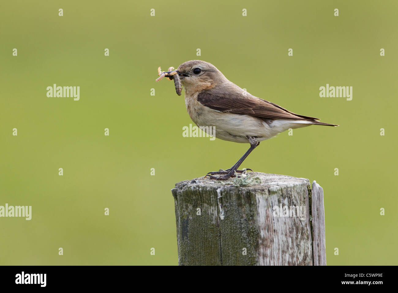 Northern Wheatear (Oenanthe oenanthe). Female perched on fence post with food for chicks. - Stock Image