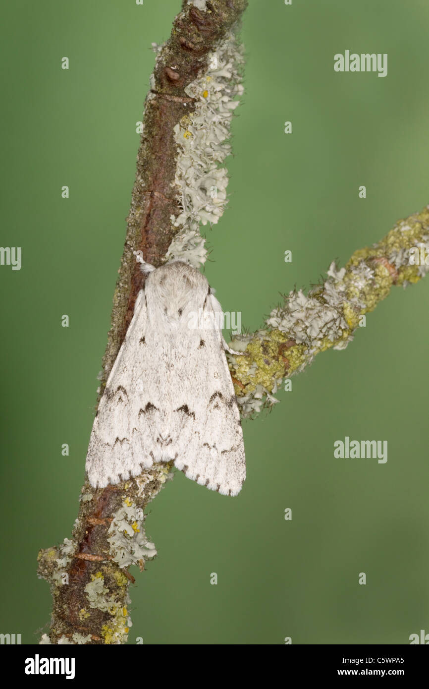 Miller Moth Acronicta leporina Essex, UK IN000885 - Stock Image